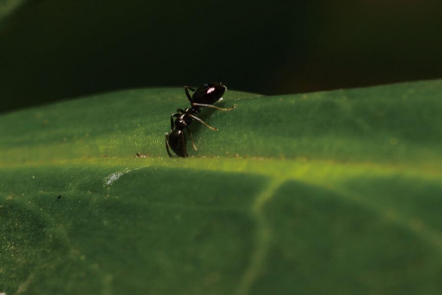 semut hitam