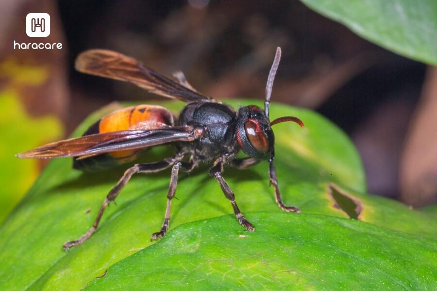 tawon verspa affinis atau tawon ndas