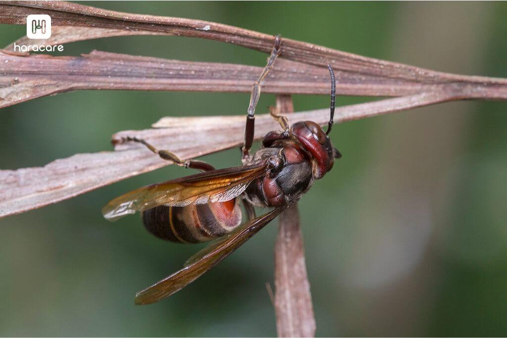 tawon vespa analis